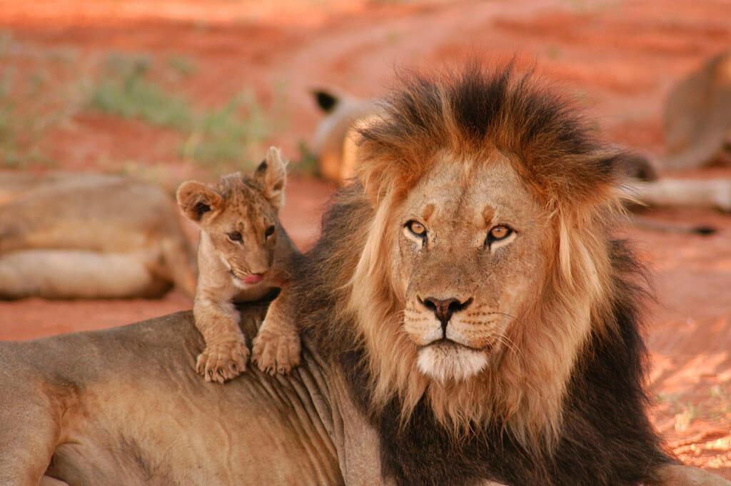 Lion & Cub © Geoff Dalglish
