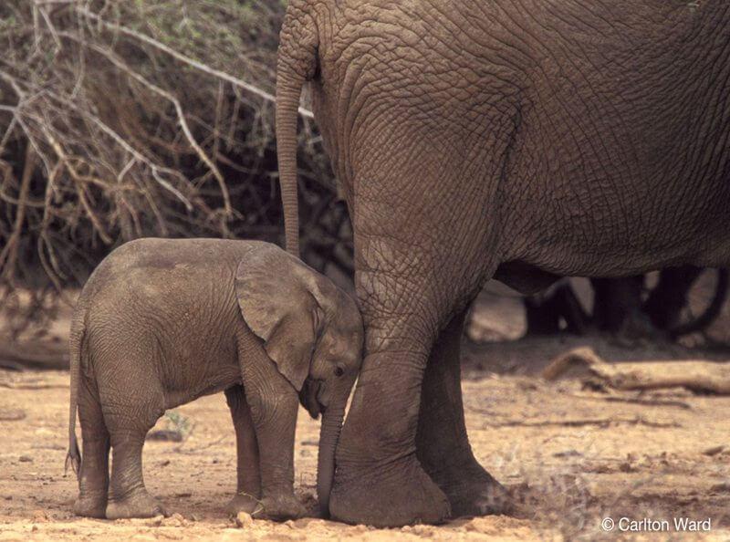 Baby elephant, Mali