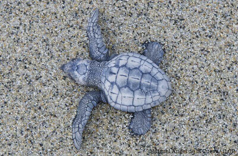 Turtle release Baja California, Miguel de la Cuerva