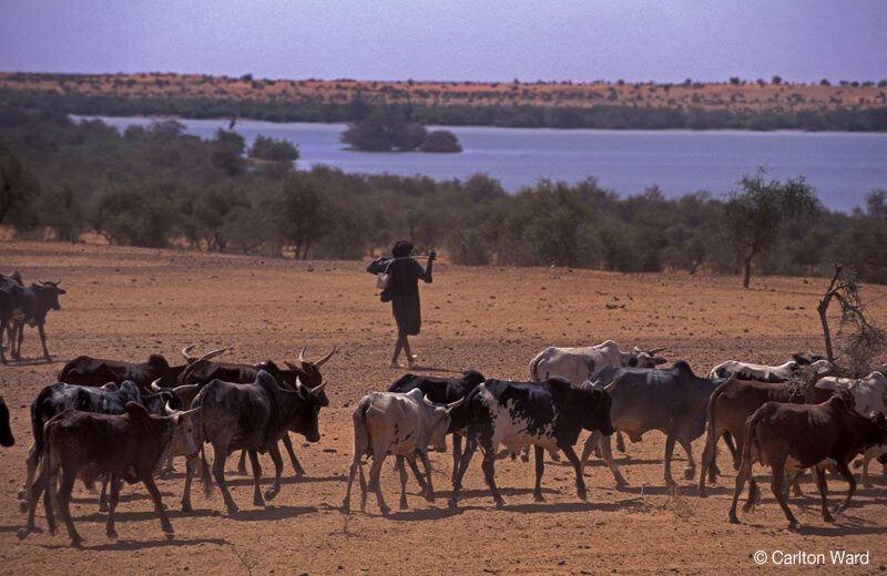 Livestock at Banzena