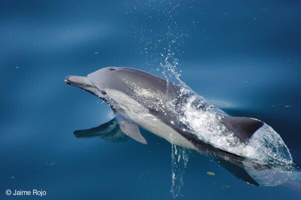 Short-beaked Common Dolphin (Delphinus delphis) Gulf of California. Mexico